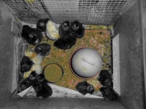 chick-4